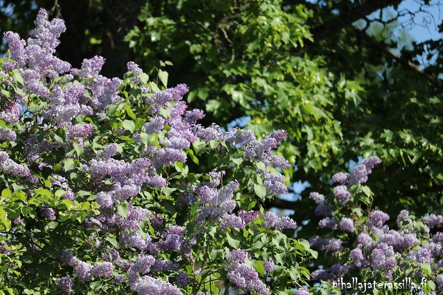 Vanhalle pihalle perinnekasveja vai ei? Kuvassa lilakukkainen pihasyreeni, joka on yksi perinnekasvi eli maatiaiskasvi.