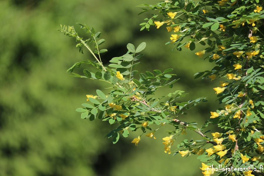 Vanhalle pihalle perinnekasveja vai ei? Kuvassa siperianhernepensaan oksan, jossa lehtien seassa on keltaisia pieniä kukkia.