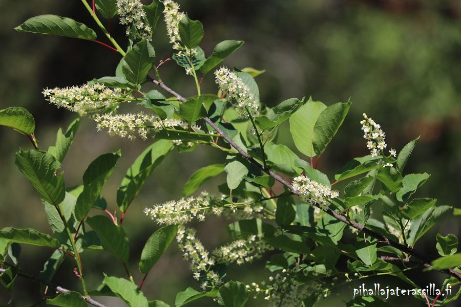 Komea viininpunalehtinen rusotuomi `Schubert` kukkii toukokuussa ja on silloin vihreälehtinen. Kuvassa kukkiva oksa, jossa paljon lyhyitä kukkaterttuja.