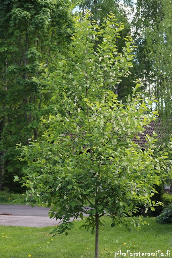 Komea viininpunalehtinen rusotuomi `Schubert` kukkii toukokuussa ja on silloin vihreälehtinen, kuten kuvassa oleva nuori puu.