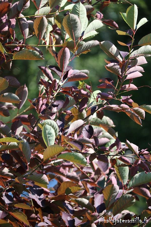Komea viininpunalehtinen rusotuomi `Schubert` muuttuu vähitellen kesäkuussa viininpunaiseksi. Kuvassa oksien latvat ovat vielä vihreitä.