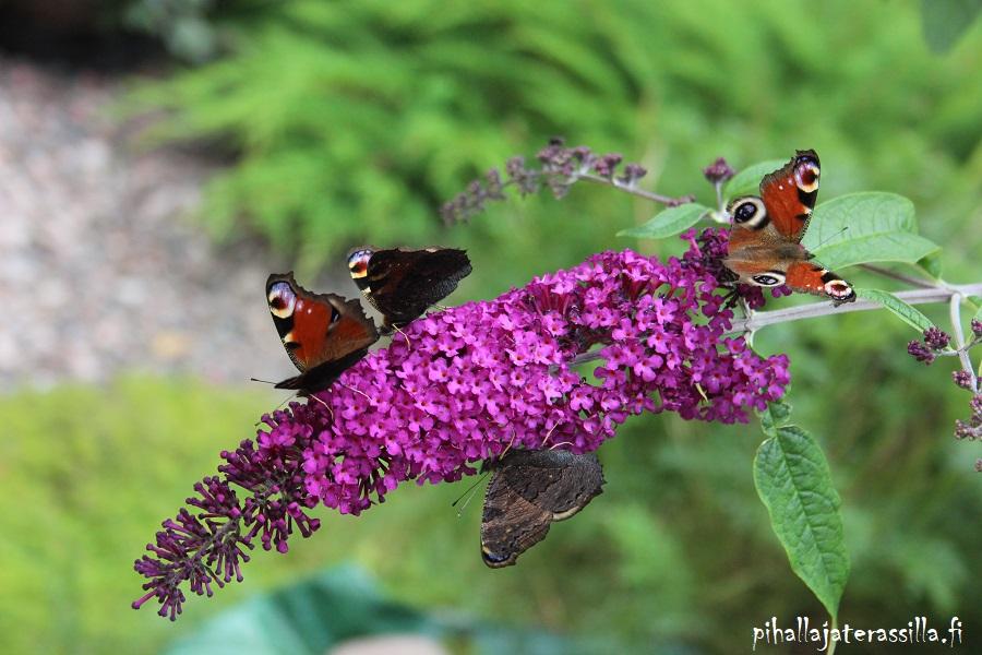 Parhaat kesäkukat perhosille