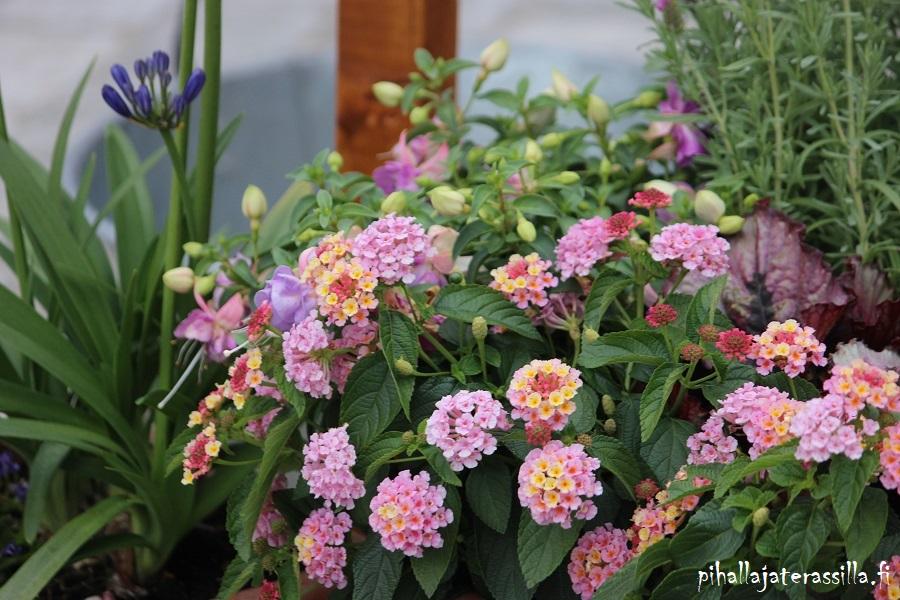 Parhaat kesäkukat perhosille on nyt listattuna blogiin ja yksi hyvä on tulikruunu. Kuvassa tulikruunun vaalenapuna-kelta kirjavia kukkia.