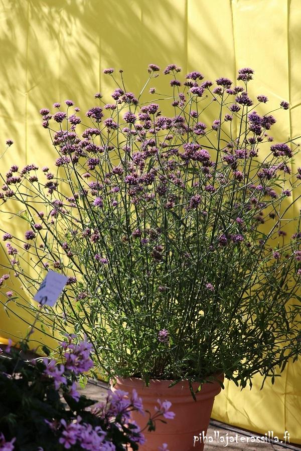 Parhaat kesäkukat perhosille on nyt listattuna blogiin ja yksi hyvä on jättiverbena. Kuvassa keltaisen taustan edessä on runsaasti jättiverbenan ilmavia oksia ja vaaleanliloja kukkaterttuja.