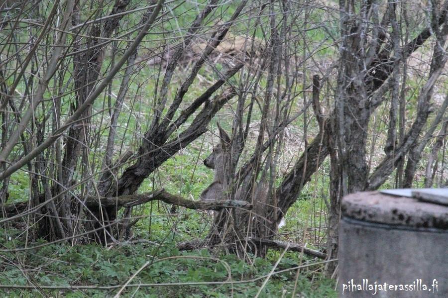 Vanha pensasaita kunnostetaan tai vaihdetaan