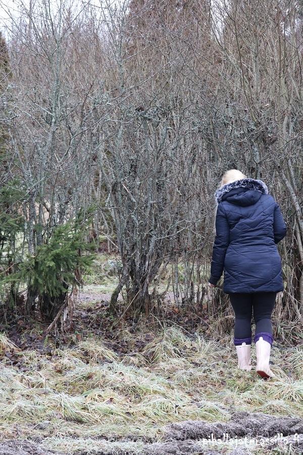 Vanha pensasaita kunnostetaan tai vaihdetaan pihasuunnittelun sarjassa. Kuvassa aukko orapihlaja-aidassa, josta peurat ja kauriit kulkevat.