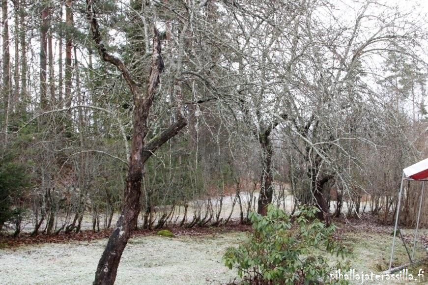 Vanha pensasaita kunnostetaan tai vaihdetaan pihasuunnittelun sarjassa. Kuvassa vanha orapihlaja-aita talvella, ja sen alaosassa ei ole oksia. Aidan läpi näkee hyvin tien aidan takana.