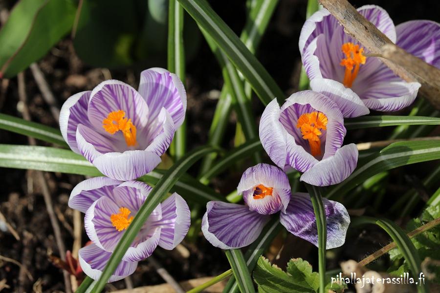 Ensimmäiset sipulikukat ovat tärkeitä pölyttäjille. Kuvassa isokukallisia krookuksia, joiden kukat ovat violettivalko kirjavat ja heteet kukan sisällä vahvan oranssit.