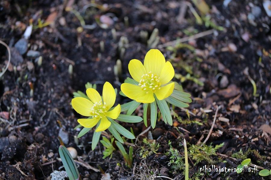 Pienet keltaiset talventähdet ovat matalia sipulikukkia.