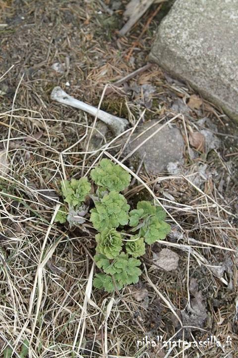 Muumikukkia ja valesinivuokkoja tupsahtelee kukkaan vanhalla pihalla. Pihalta löytyy myös mysteerikasveja, kuten kuvan akileijan lehtiruusukkeet ja sen vieressä on luu.