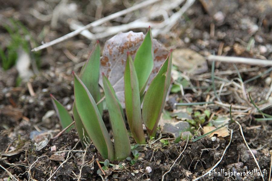 Muumikukkia ja valesinivuokkoja tupsahtelee kukkaan vanhalla pihalla. Kuvassa tulppaanin lehtiä ryppäänä.