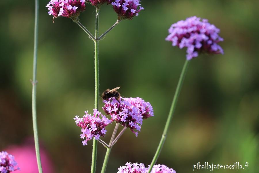Jättiverbena on hyvä perhoskasvi ja se kelpaa muillekin pölyttäjille.