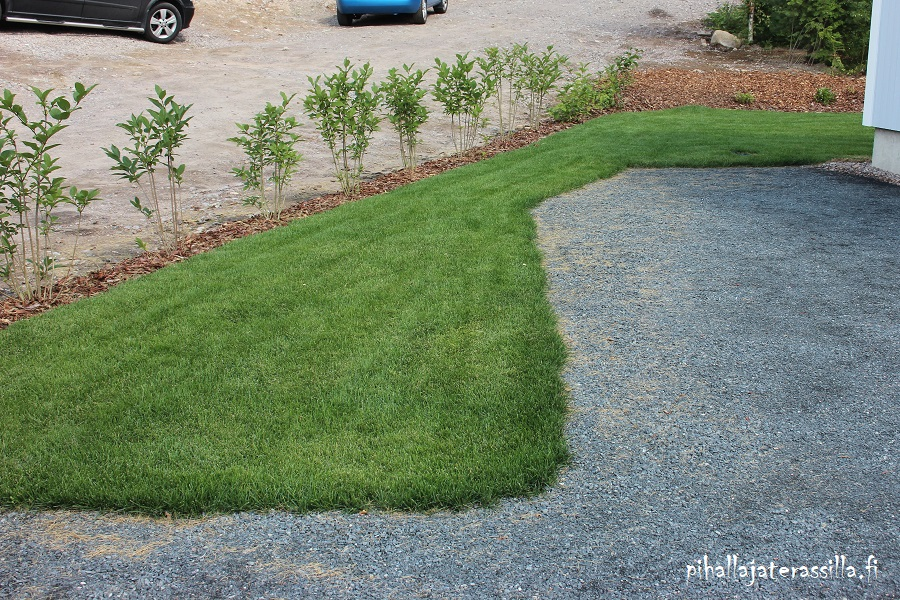 Pihasuunnittelu ja mittakaavassa piirtäminen on tärkeää. Kuvassa kasvit istutettu aidaksi kadun reunaan. Mittakaavassa piirtäminen varmistaisi mahtuuko ne kasvamaan siinä myös tulevaisuudessa vai kasvavatko ne liikaa tielle estäen näkyvyyttä.