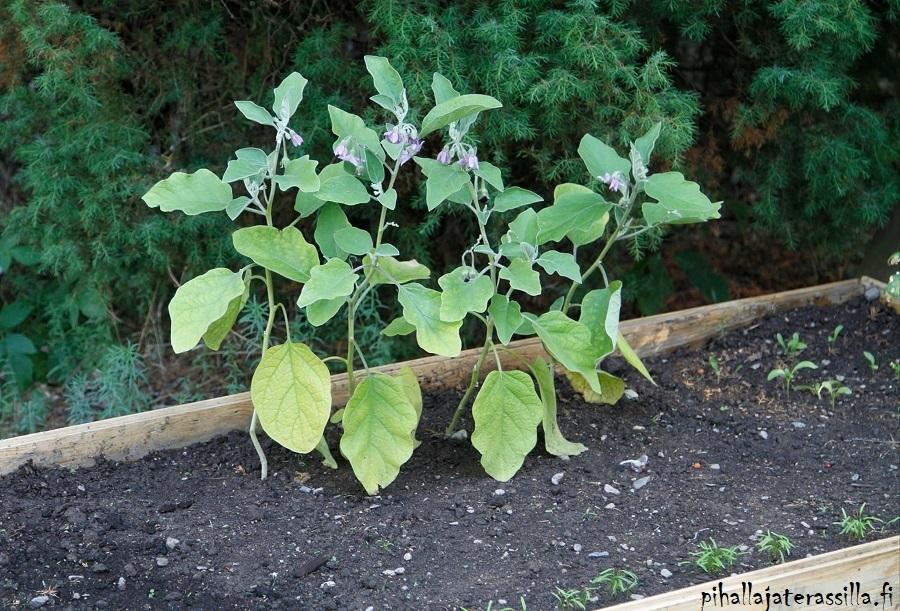 Viljelylaatikon mullan kunnostus. Kuvassa viime vuoden tilanne eli viljelylaatikossa neljä heikon näköistä minimunakoison tainta. Mullassa muutamia pieniä taimitupsuja.