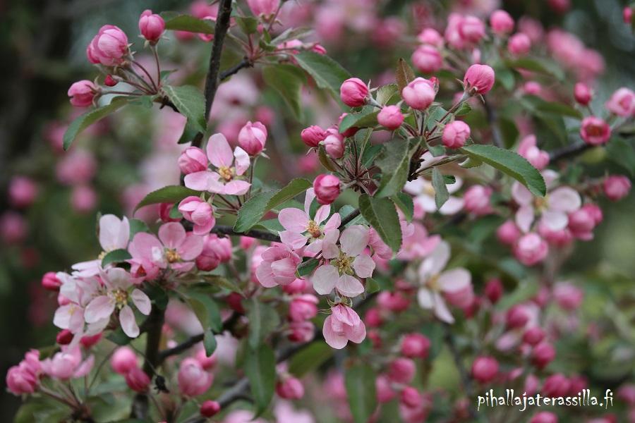 Vaaleanpunaiset kukkivat puut kuten kuvan kuvan hennon vaaleanpunainen koristeomenapuu eli purppuraomenapuu.