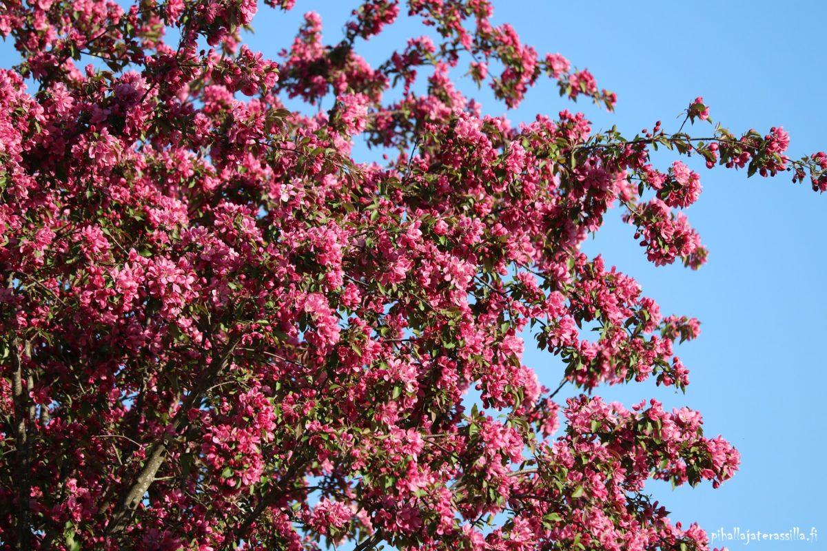 Vaaleanpunaisena kukkivat puut