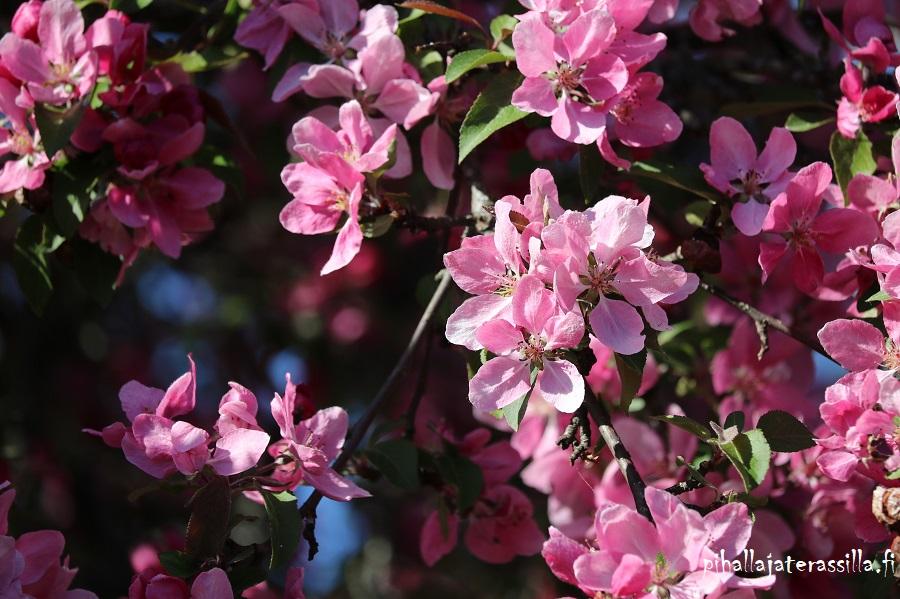 Vaaleanpunaiset kukkivat puut kuten kuvan vahvan vaaleanpunainen koristeomenapuu eli purppuraomenapuu kukat avonaisina.