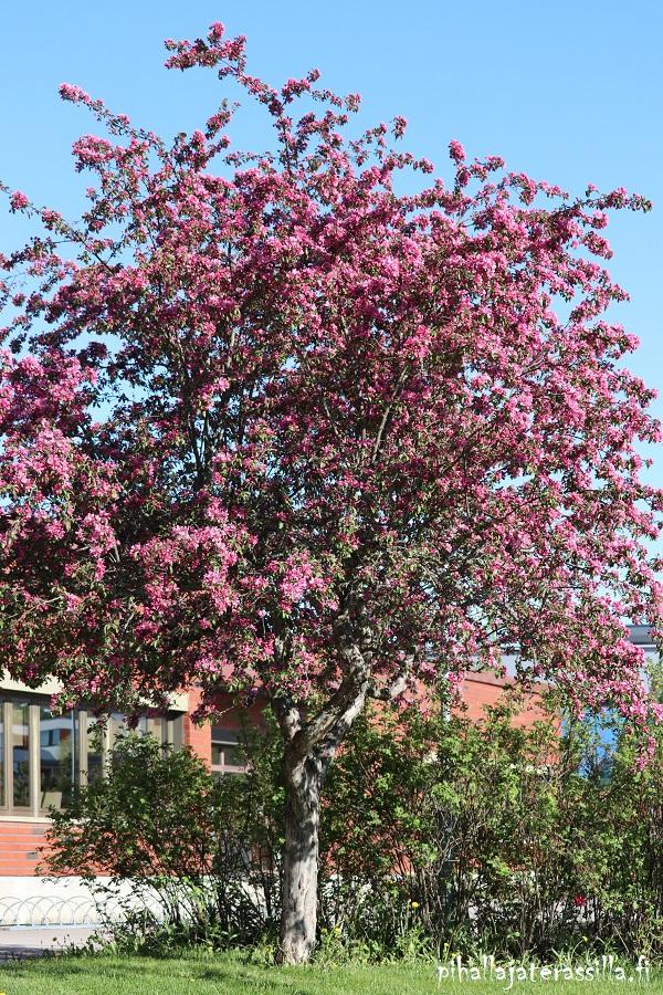 Vaaleanpunaiset kukkivat puut kuten kuvan vahvan vaaleanpunainen koristeomenapuu isona, on ihan kuin  punainen hattara kukkiessaan.