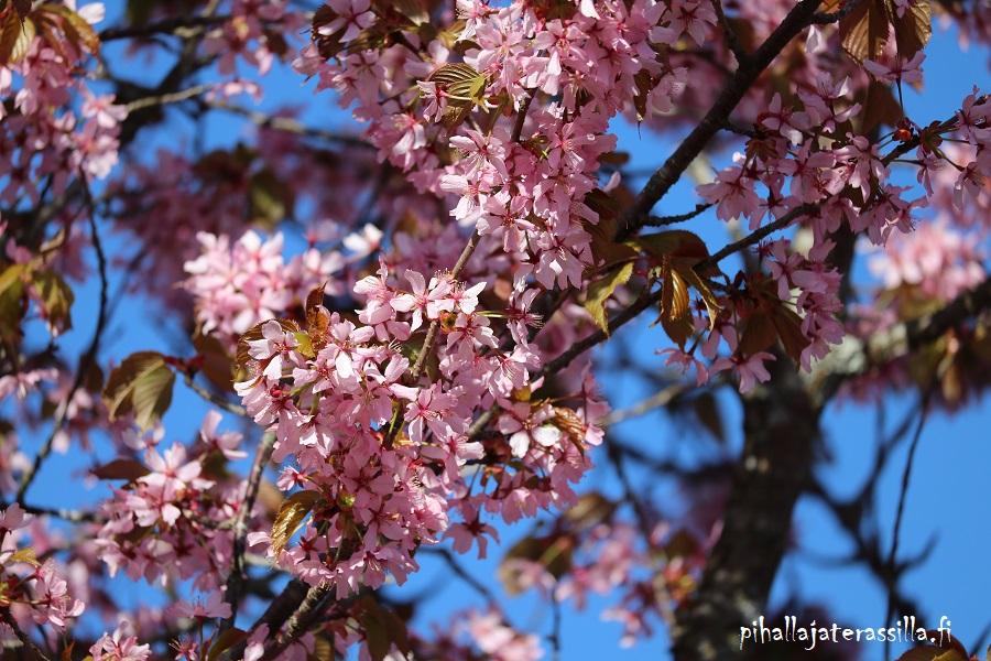 Vaaleanpunainen kukkiva puu kuvassa on rusokirsikka. Sen lehdet ovat ruosteenvihreät, kun vaaleanpunaiset kukat ovat avoinna.