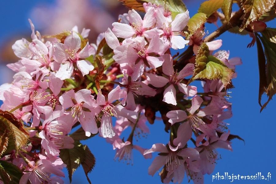 Vaaleanpunainen kukkiva puu kuvassa on rusokirsikka. Lähikuvassa vaaleanpunaiset kukat ja vihertyvät lehdet.