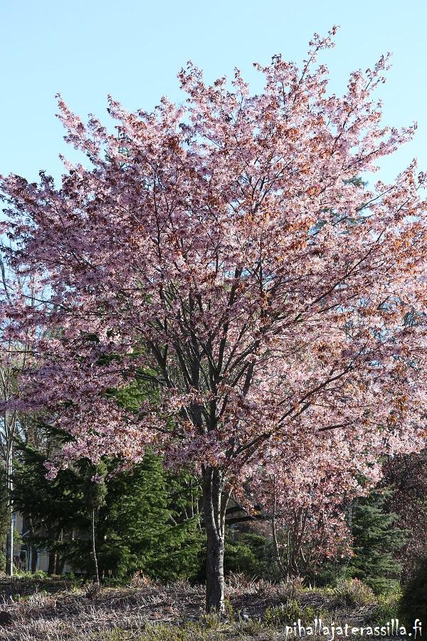 Vaaleanpunainen kukkiva puu kuvassa on rusokirsikka. Se on jo lähes täysikokoinen.