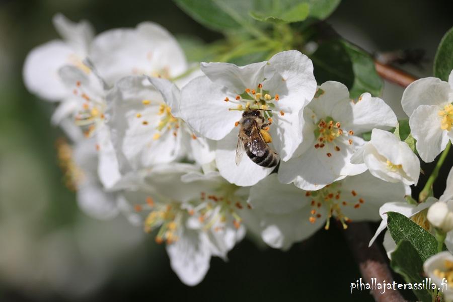 Hyötytarhan suunnittelu kannattaa aina. Osa hedelmäpuista vaatii toisen lajikkeen, jotta kukkien pölytys onnistuu. Kuvassa hedelmäpuun kukassa pölyttäjä.