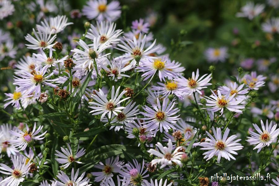 Elokuun pihakuulumisia vanhalta pihalta ja kuvassa on elokuunasterin pieniä vaaleanliloja kukkia läheltä.