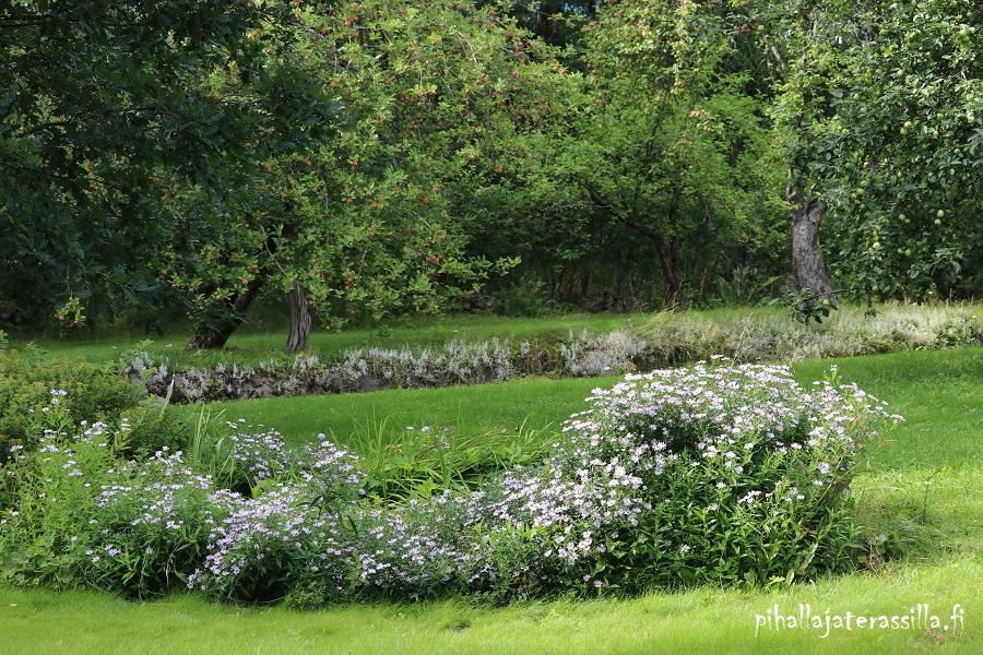 Elokuun pihakuulumisia vanhalta pihalta eli kuvan etualalla kukkii pitkä penkki elokuun asteria pienillä kukilla. Osa versoista on kaatunut nurmikolle.