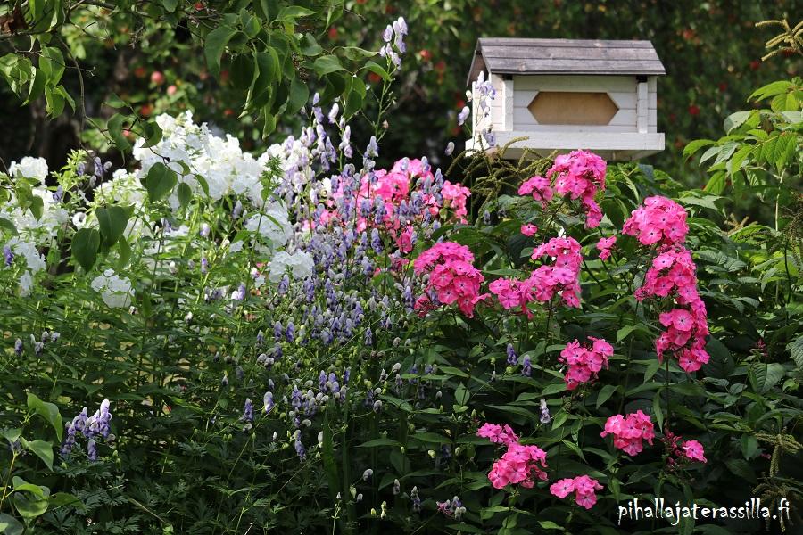 Elokuun pihakuulumisia vanhalta pihalta, jossa nyt kukassa on valkoinen ja pinkki syysleimu muhkeine kukkaterttuineen. Välissä sinivalkoinen kirjoukonhattu.