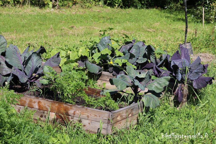 Elokuun pihakuulumisia vanhalta pihalta, jossa viljelylaatikoissa kasvaa tummalehtisiä punakaaleja sekä muita vihanneksia.