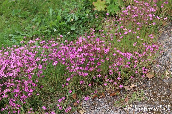 Kukkaketo vai kukkaniitty, miten eroaa toisistaan. Kuvassa hiekkapenkalla punakukkaista ketoneilikkaa täydessä kukassa.