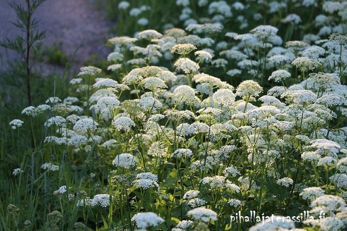 Kukkaketo vai kukkaniitty, miten eroaa toisistaan. Kuvassa kukkaniityllä valkokukkaiset vuohenputket ilta-auringossa.