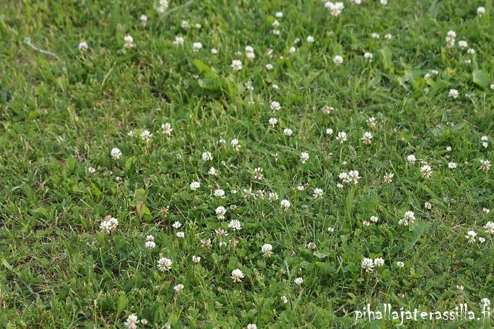 Kukkanurmikko on eri asia kuin keto tai niitty. Kuvassa kukkanurmikolla matalan nurmikkoheinän seassa valkoapilaa kukassa.