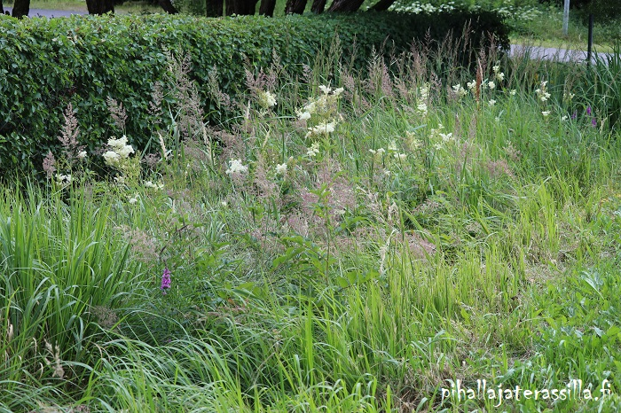 Kukkaketo vai kukkaniitty, miten eroaa toisistaan. Kuvassa korkeaa heinää kukkaniityllä sekä valkokukkaista mesiangervoa.