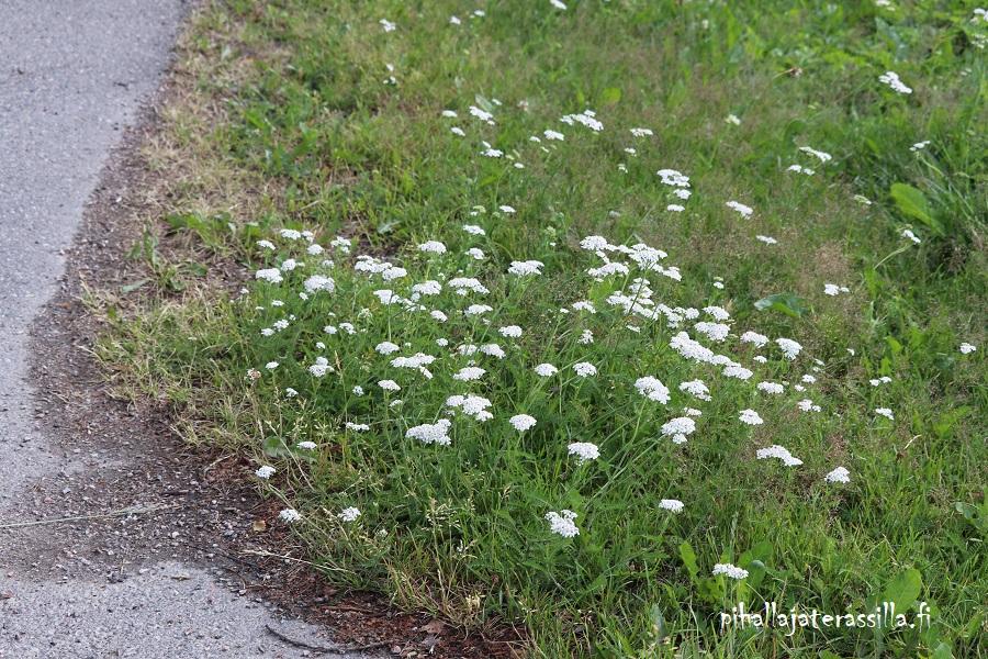 Kukkaketo vai kukkaniitty, miten eroaa toisistaan. Kuvassa kukkakedolle sopivaa valkokukkaista siankärsämöä kasvamassa matalana tien reunalla.