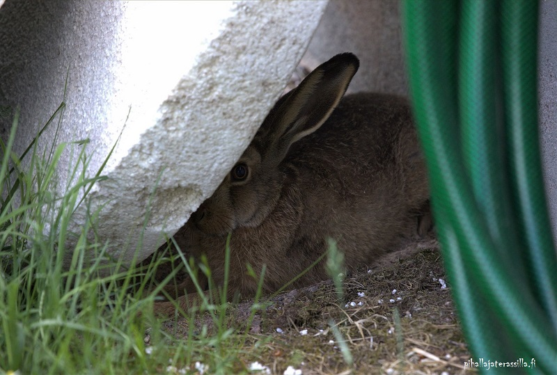 Väinö-Viljami, rusakko puutarha-apulaisena, on varjossa ja turvassa seinustalla nojaavan styroksilevyn takana. Selvästi päivätorkuilla.