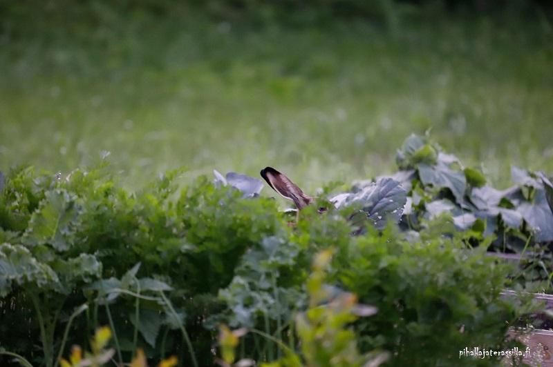 Väinö-Viljami, rusakko puutarha-apulaisena, istuu viljelylaatikossa punakaalien seassa niin, että vain korvat näkyvät.
